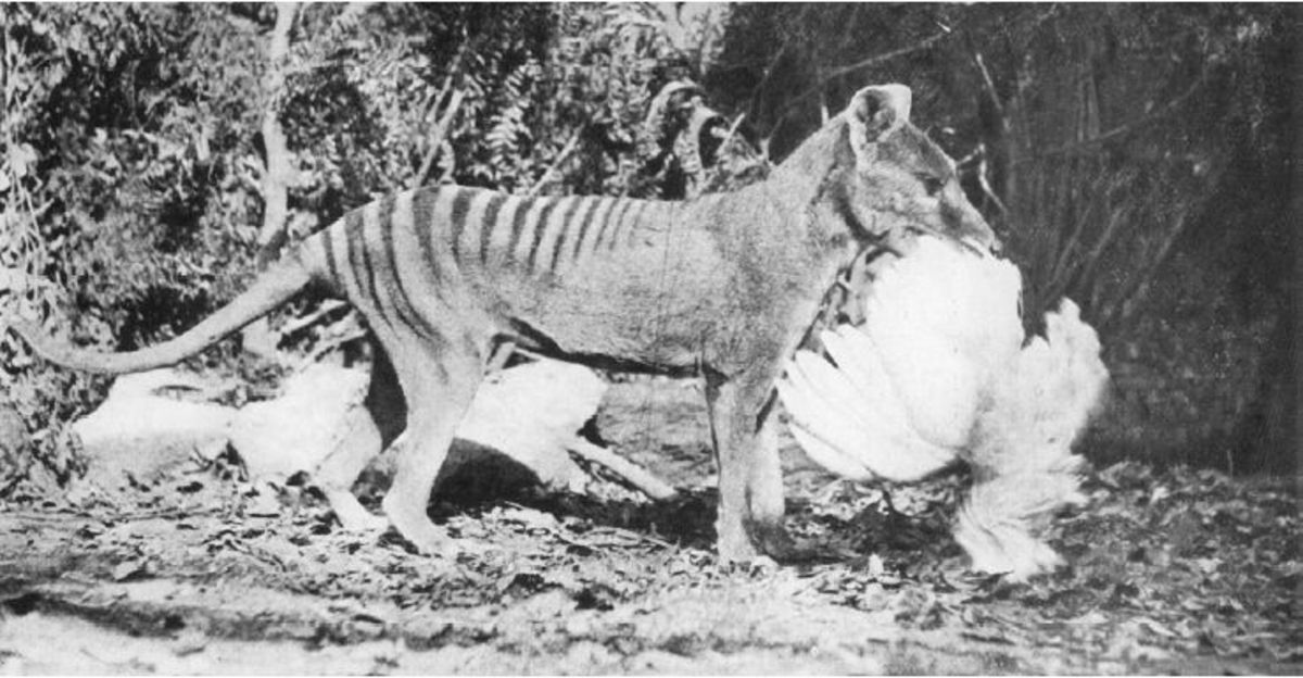 Tasmanian tiger with chicken