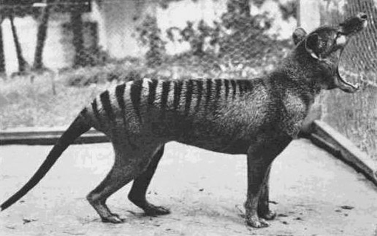Tasmanian tiger with wide open mouth
