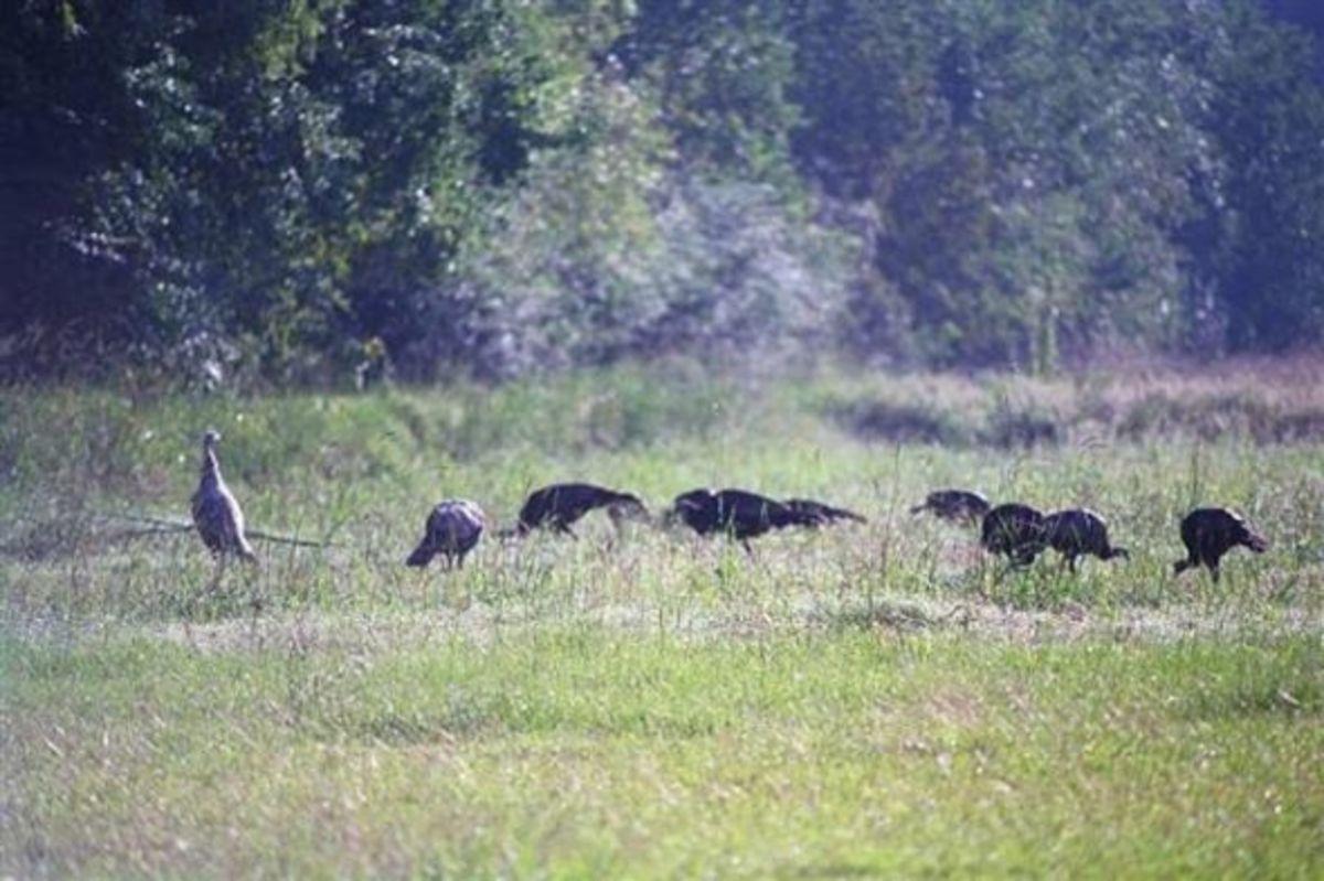 wild-turkey-thanksgiving
