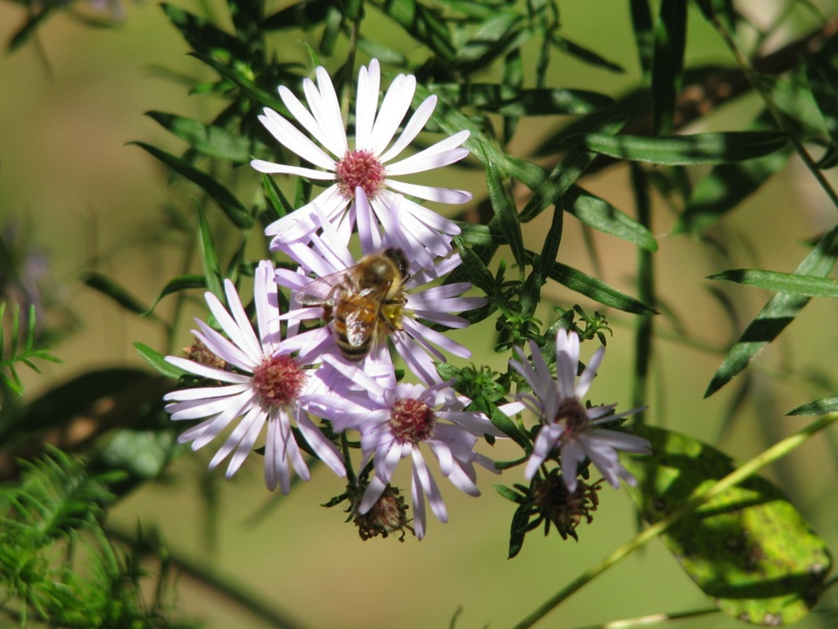 Wild Asters of Autumn - A Pollinator's Delight