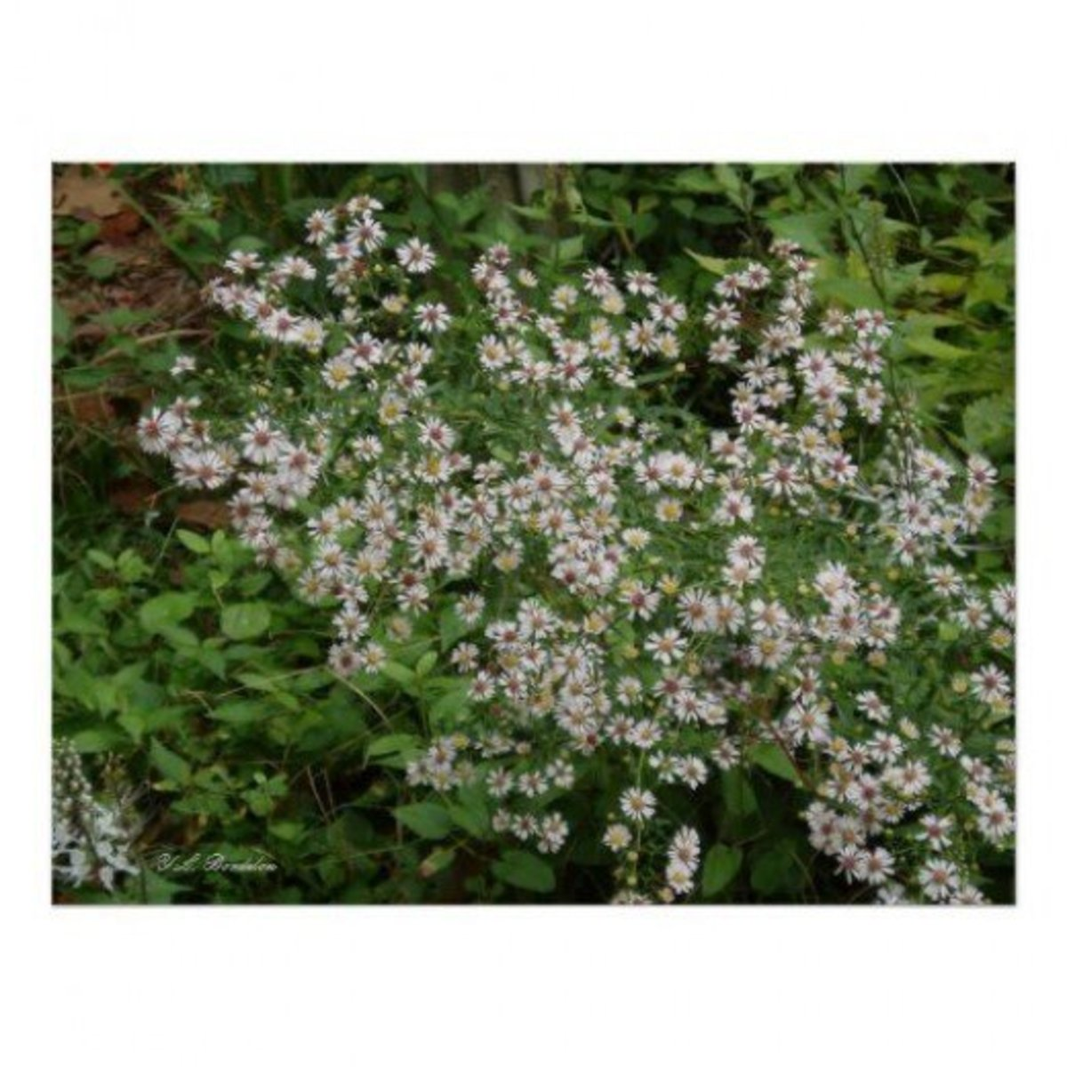 White Asters, Aster ericoides