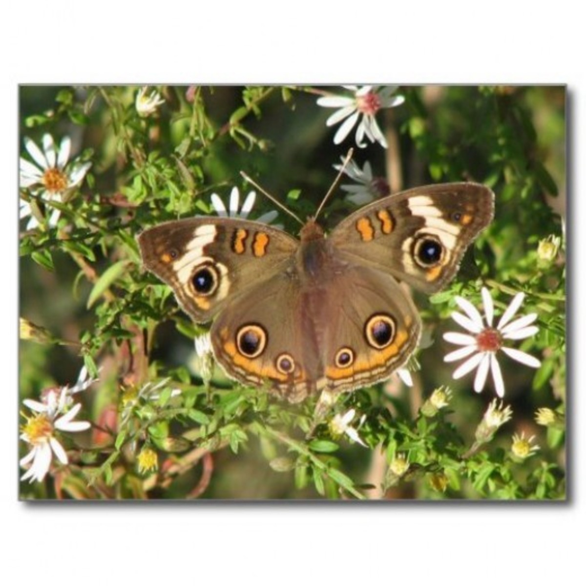 A buckeye butterfly drinks nectar from fall asters.