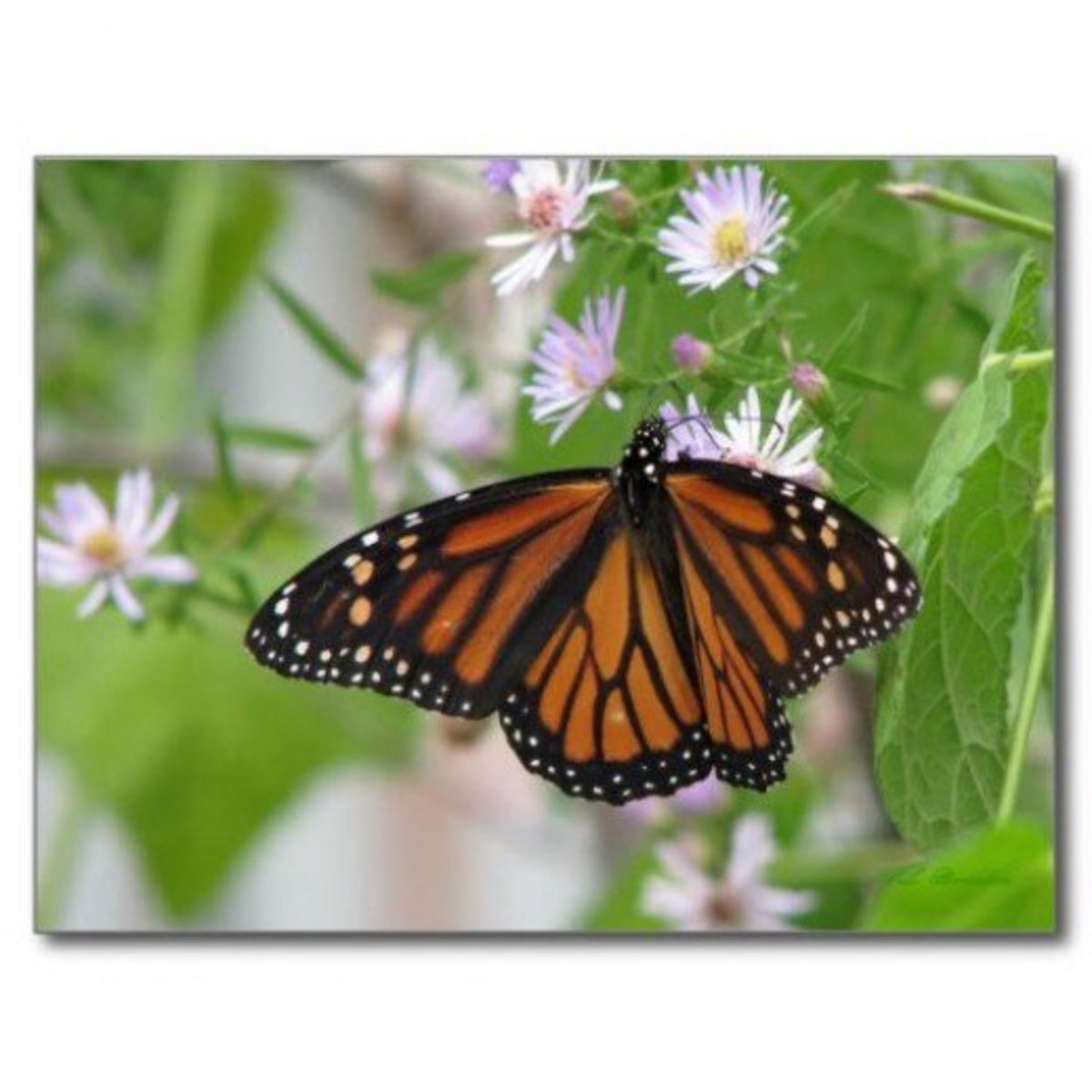 Monarchs flock to wild blue asters whose nectar sustains them on their trek south to their wintering grounds in Mexico.