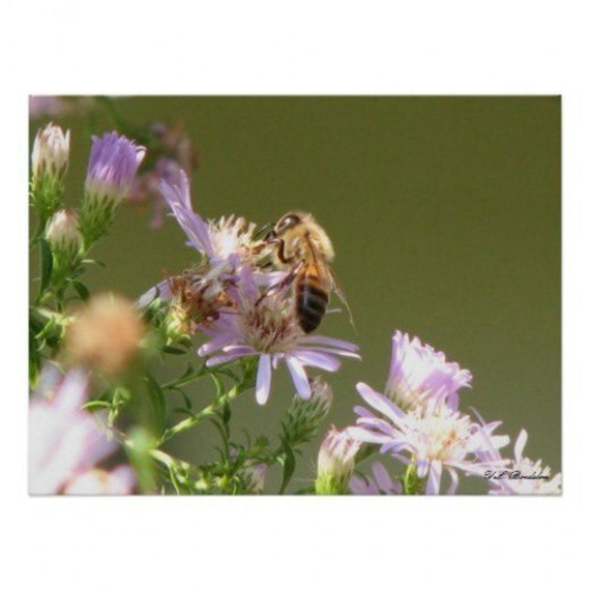 Wildflowers such as this purple aster are an important part in the prevention of Colony Collapse Disorder.