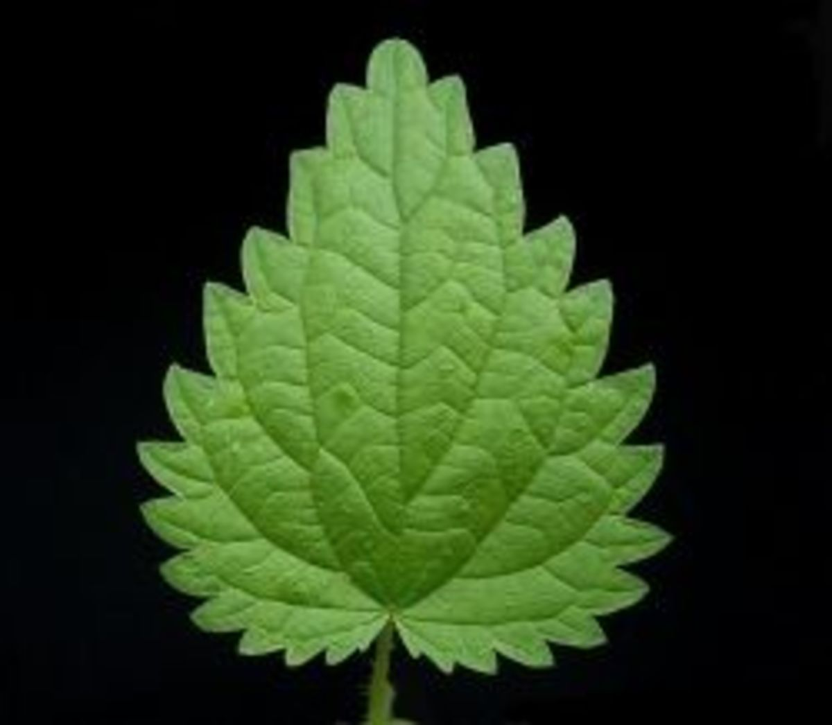 The leaves of the stinging nettle are pointed with a serrated edge and little bumps on the surface.