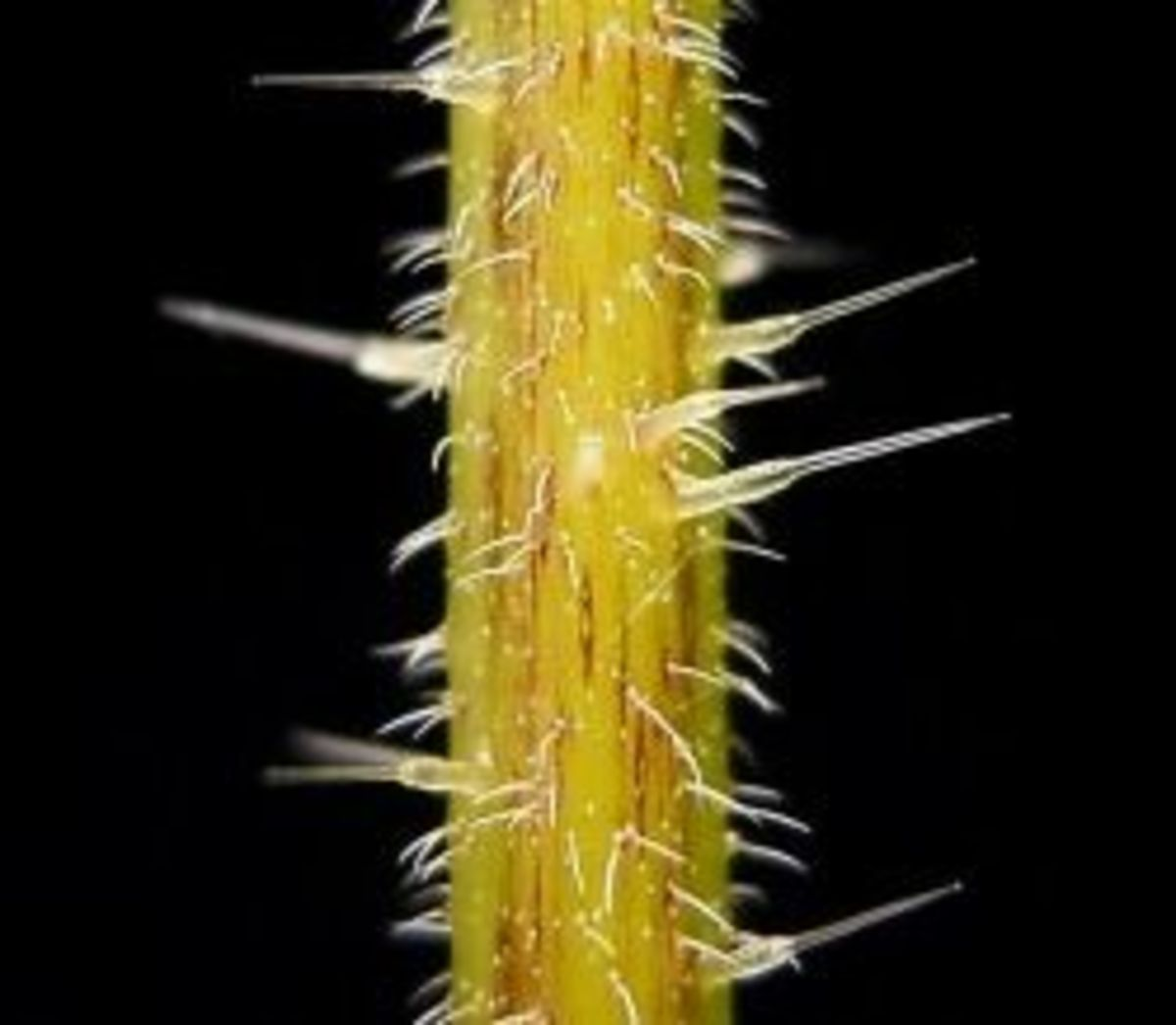See how each of these hairs is wider at the base?  There is a chemical concoction inside each one that will sting your skin.  Watch out!
