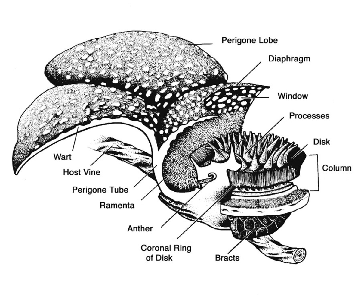 Section through a male flower of Rafflesia.