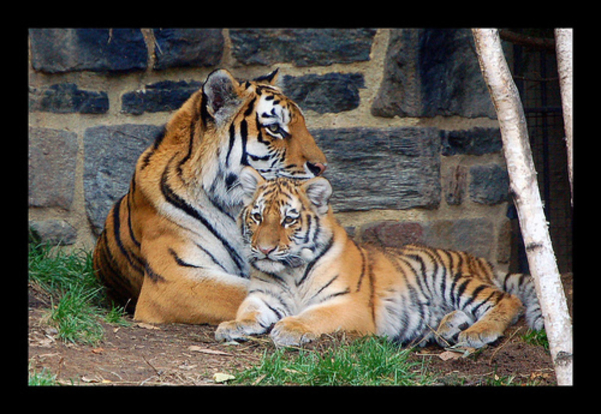 Endangered Tigers: Stop Poaching and Save Habitat to Prevent Extinction