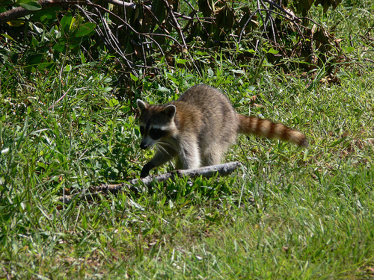 Raccoon, just rummaging around during the day.