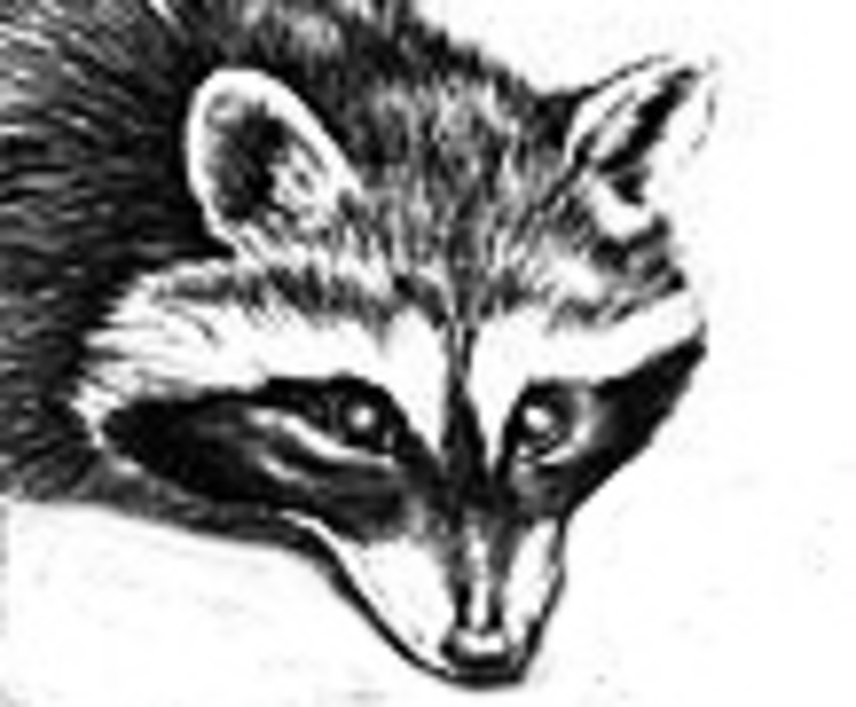 I drew this picture of a Raccoon for this article.