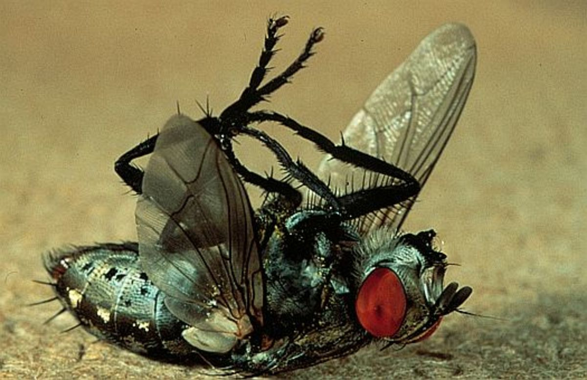 How to kill and get rid of flies in your house / indoors!