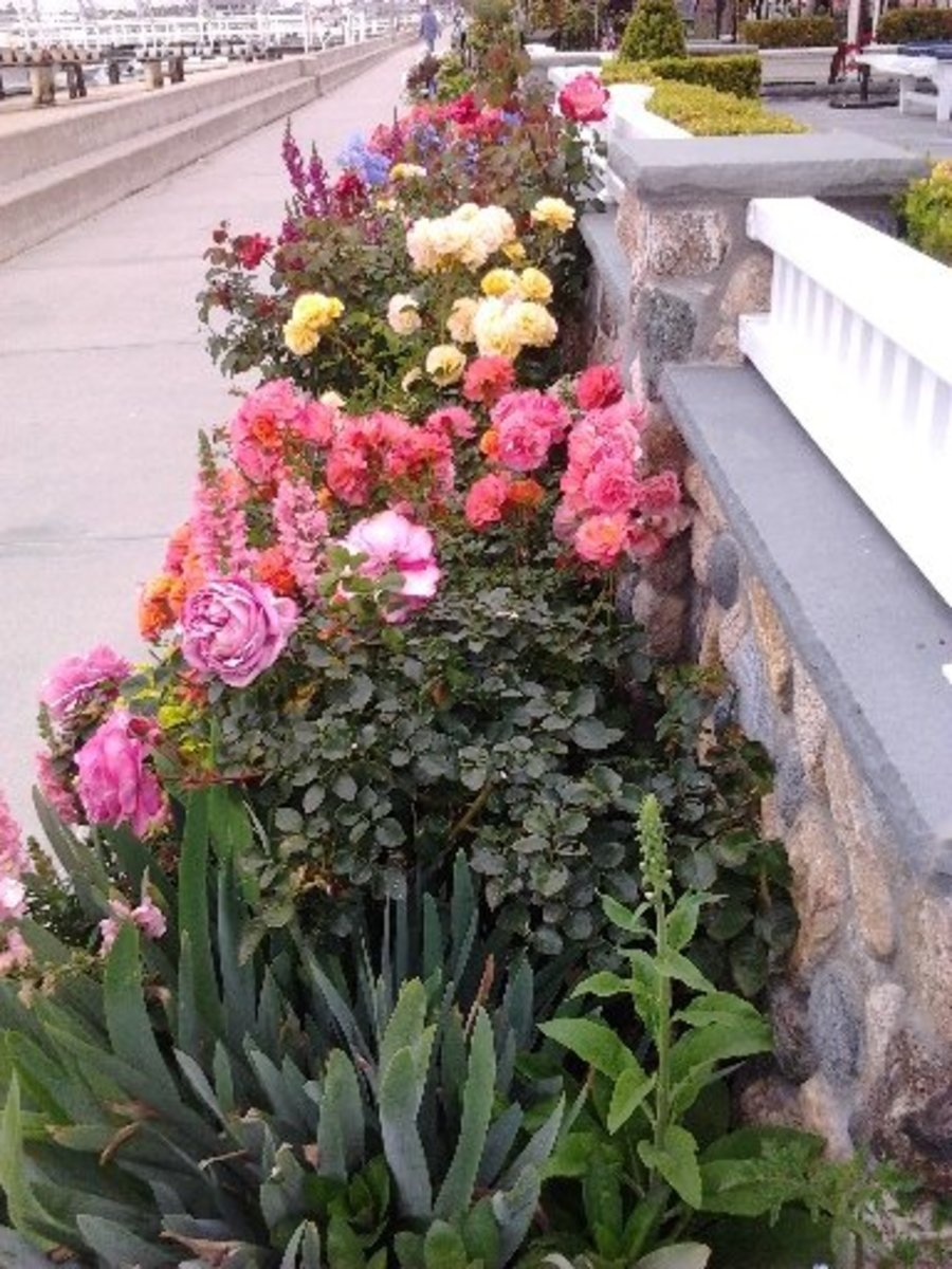 A Gardener's Dream -  Garden upon Garden bordering the sidewalk in front of each house on Balboa Island - Flowers constantly changing with the seasons