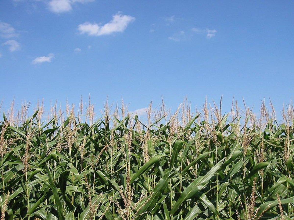 GMO Food Allergies