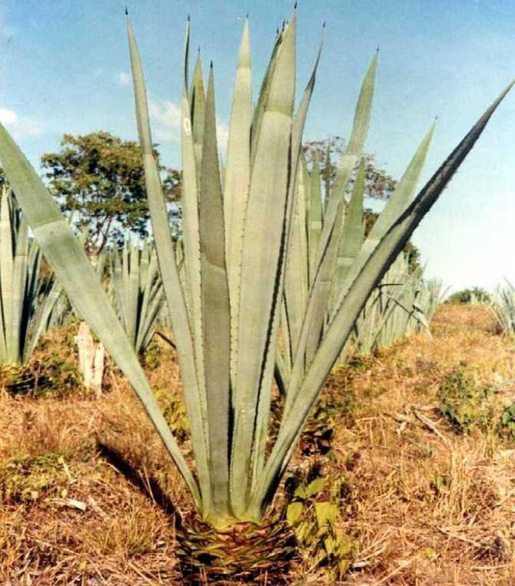 maguey plant
