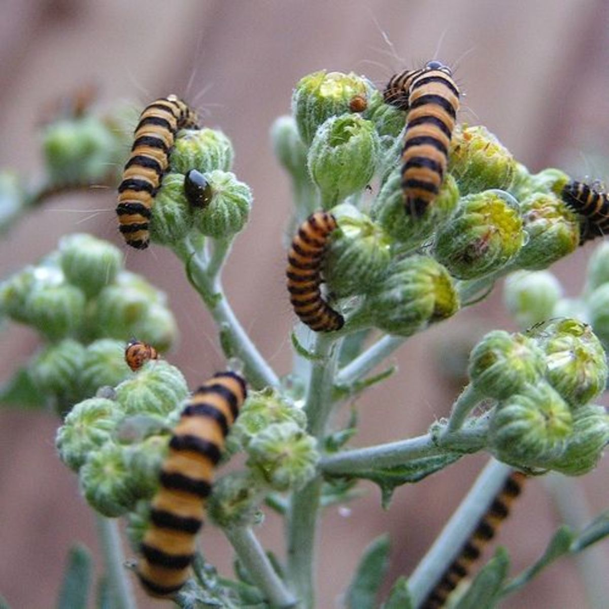 Yellow and Black Caterpillars on Tansy