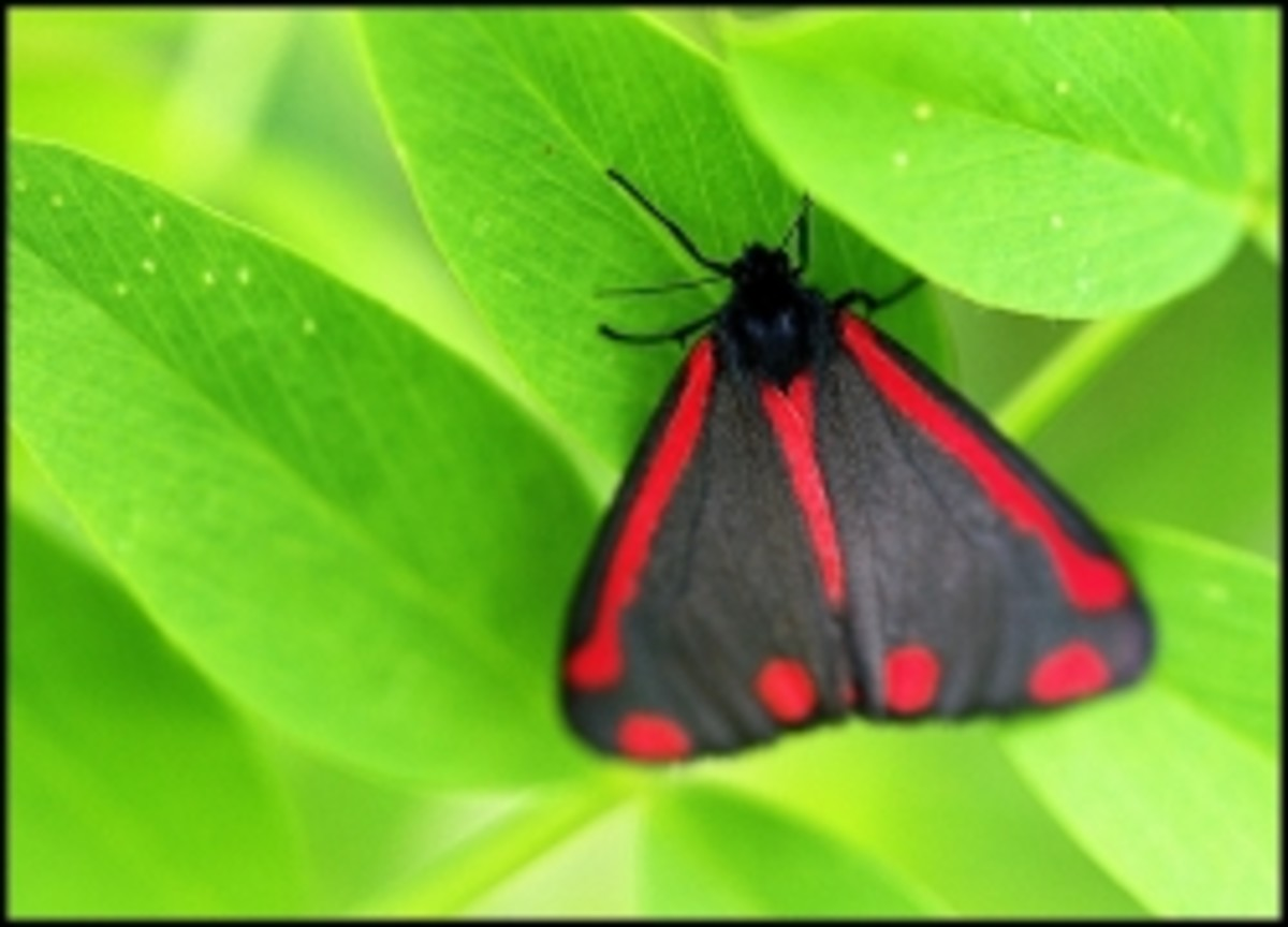 The Cinnabar Moth