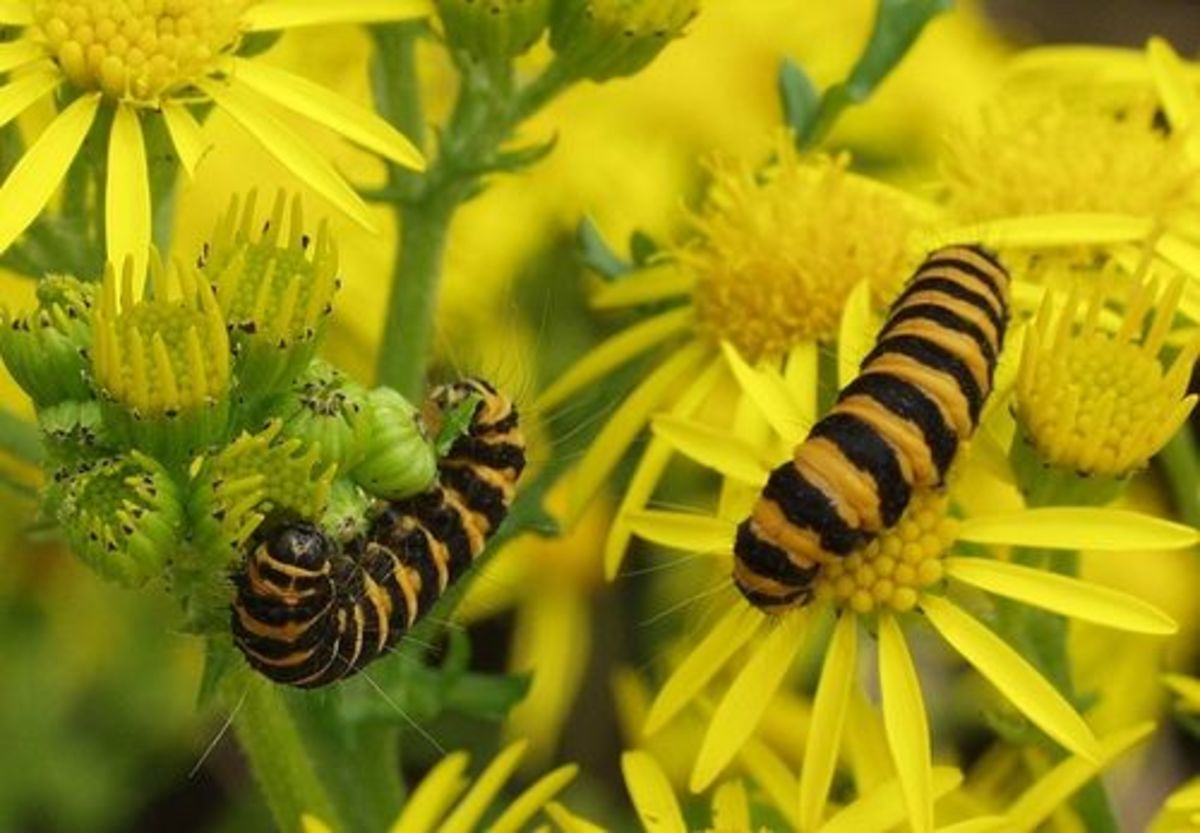 Cinnabar Moth Caterpillars eating Oxford Ragwort, Towneley Park, Burnley