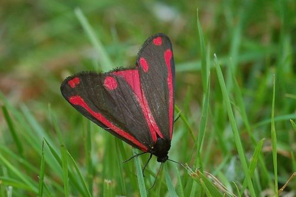 Red and Black Cinnabar Moth