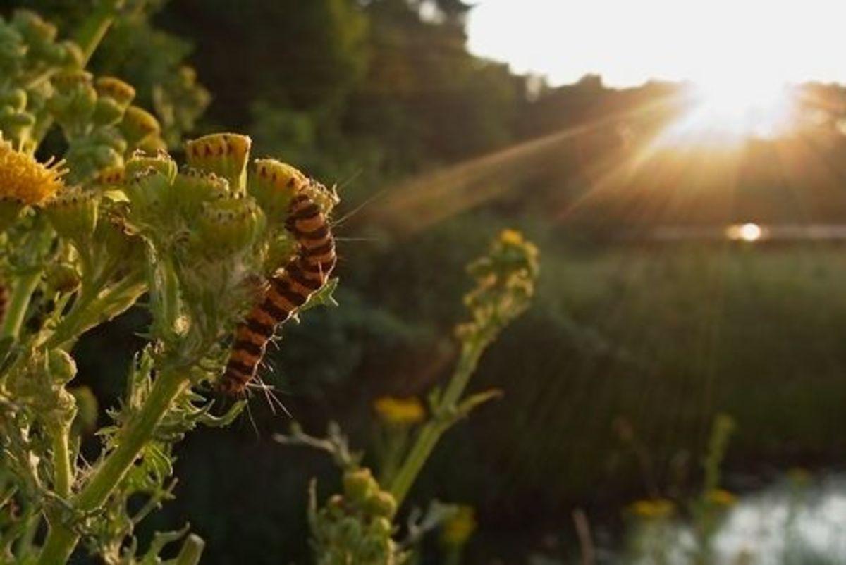Cinnabar Caterpillars