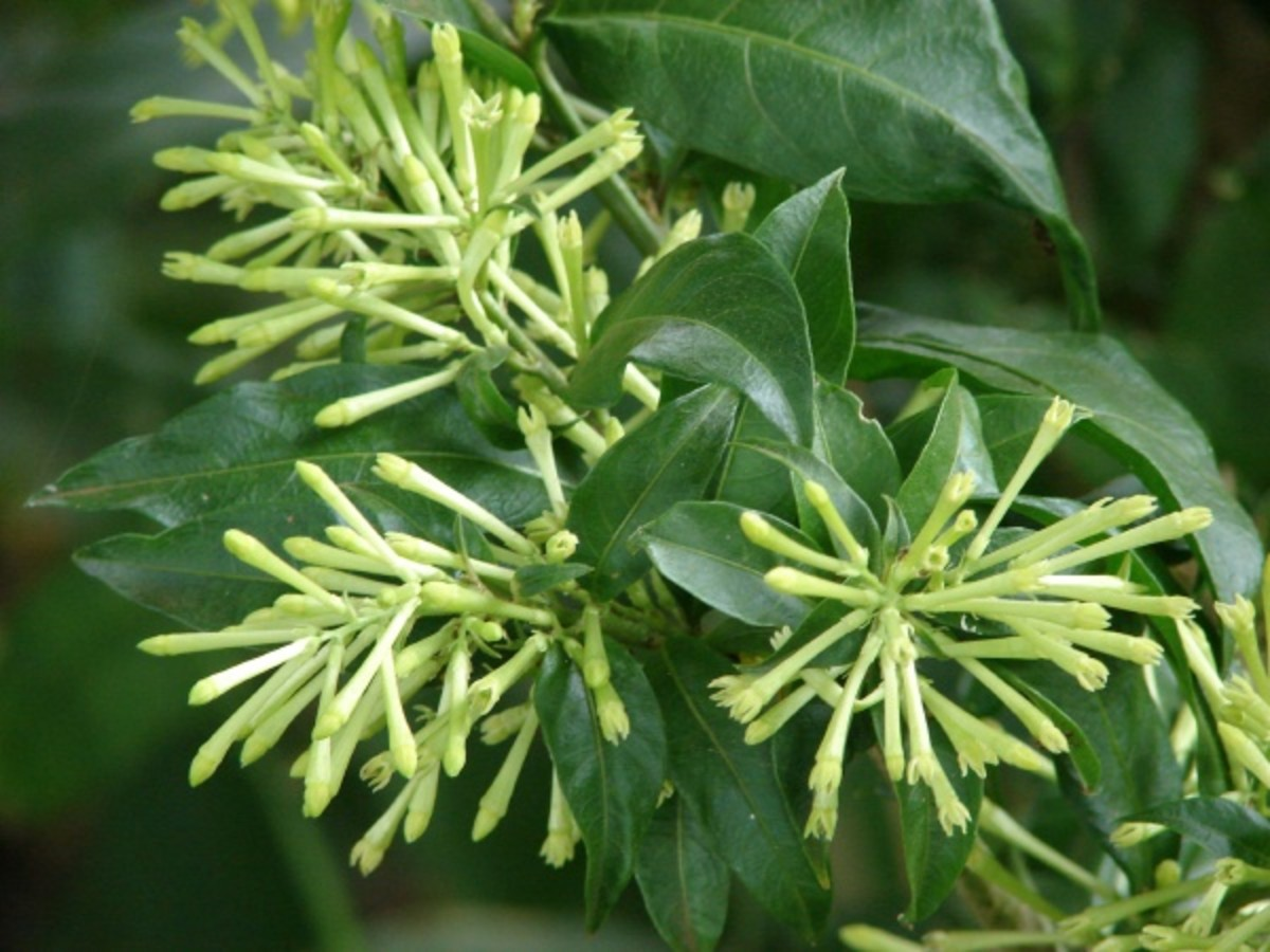 Cestrum Nocturnum (Dama de Noche) - the world's strongest scented plant