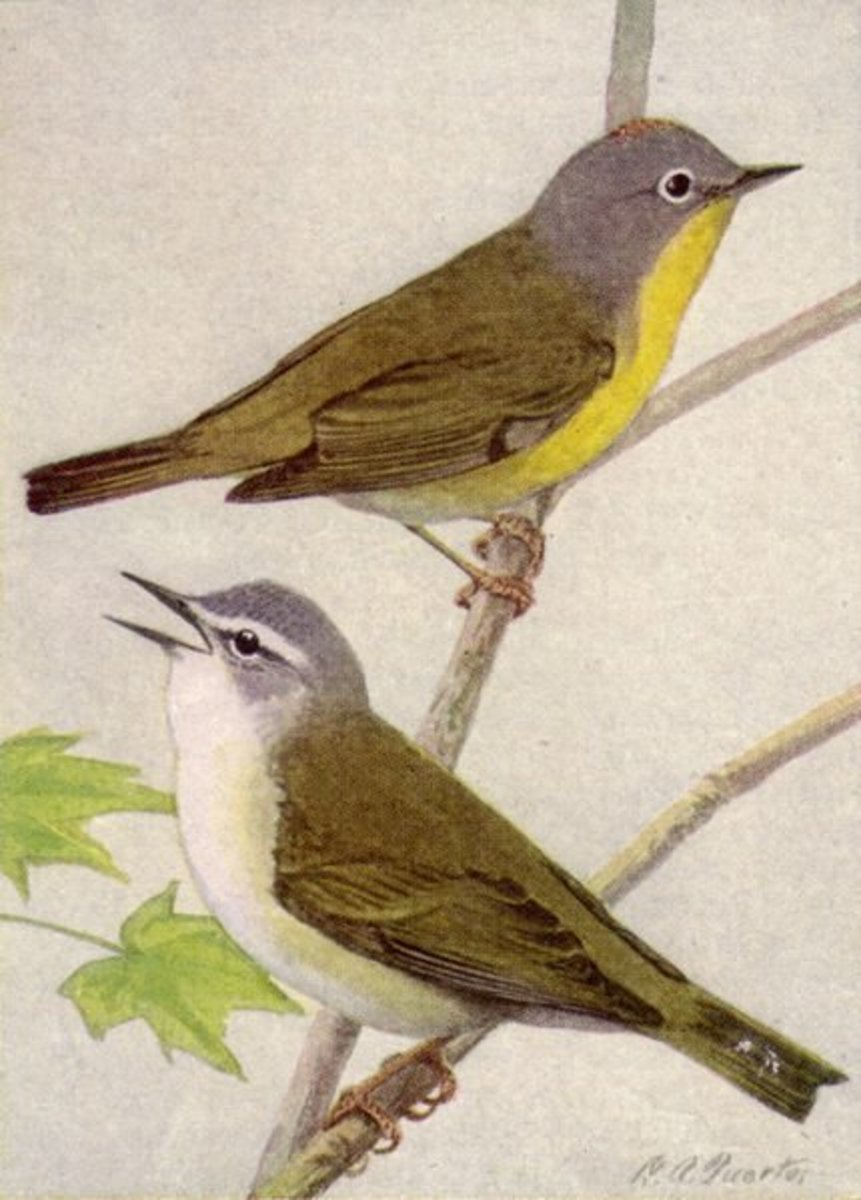 Nashville and Tennessee Warblers.