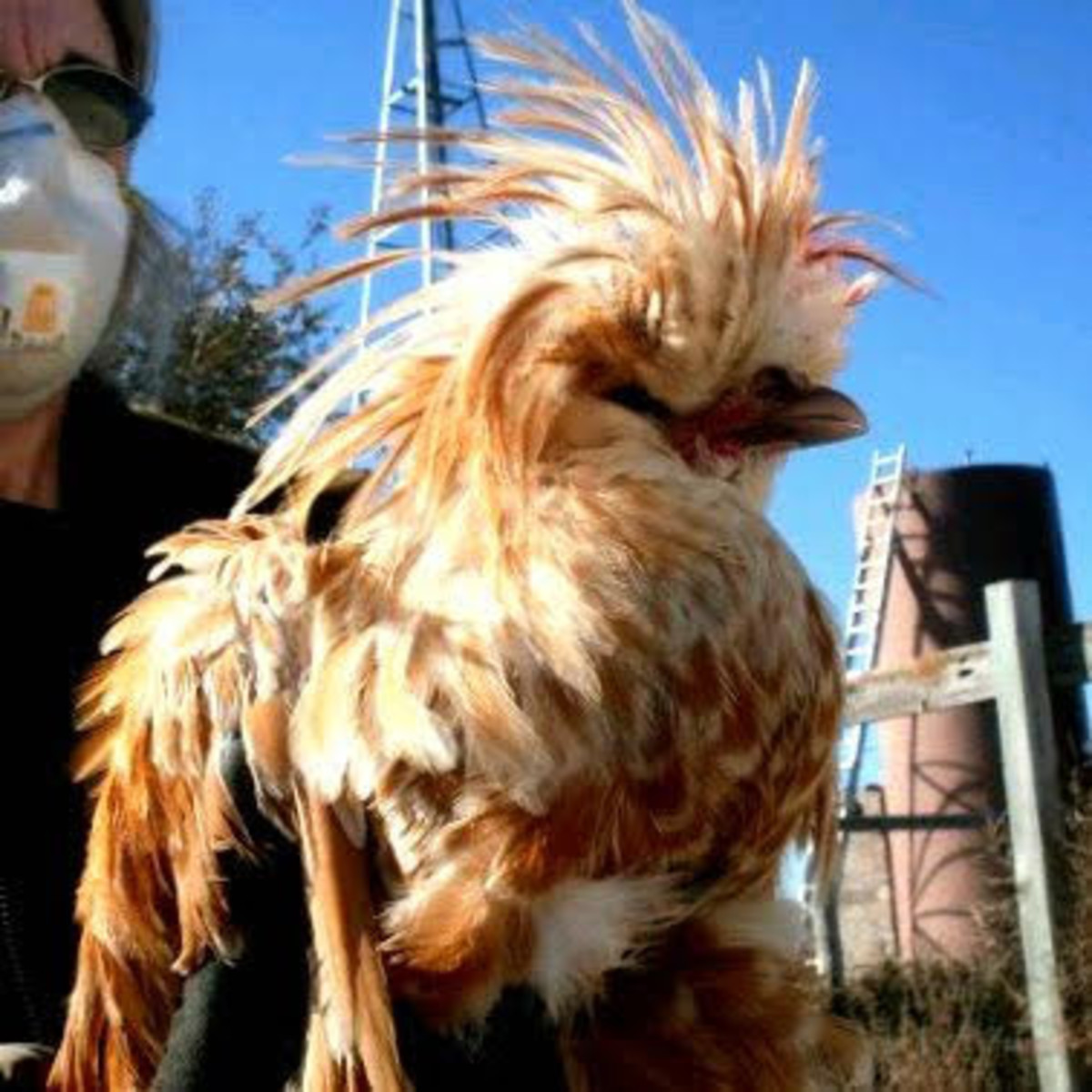 Miss Heather holds the Polish rooster to calm him before transferring him to another chicken yard. (Her mask is because of allergies.)