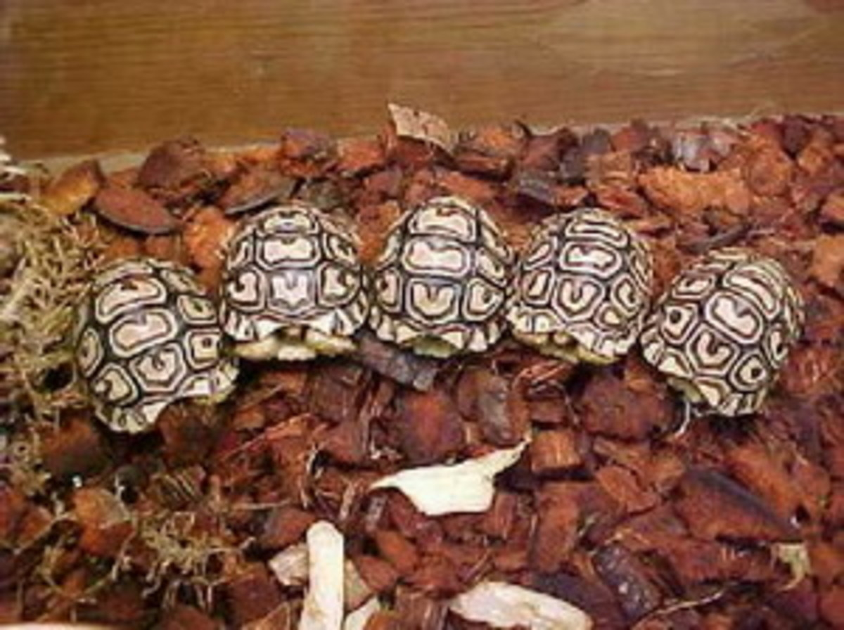 Here is a collection of baby leopard tortoises.