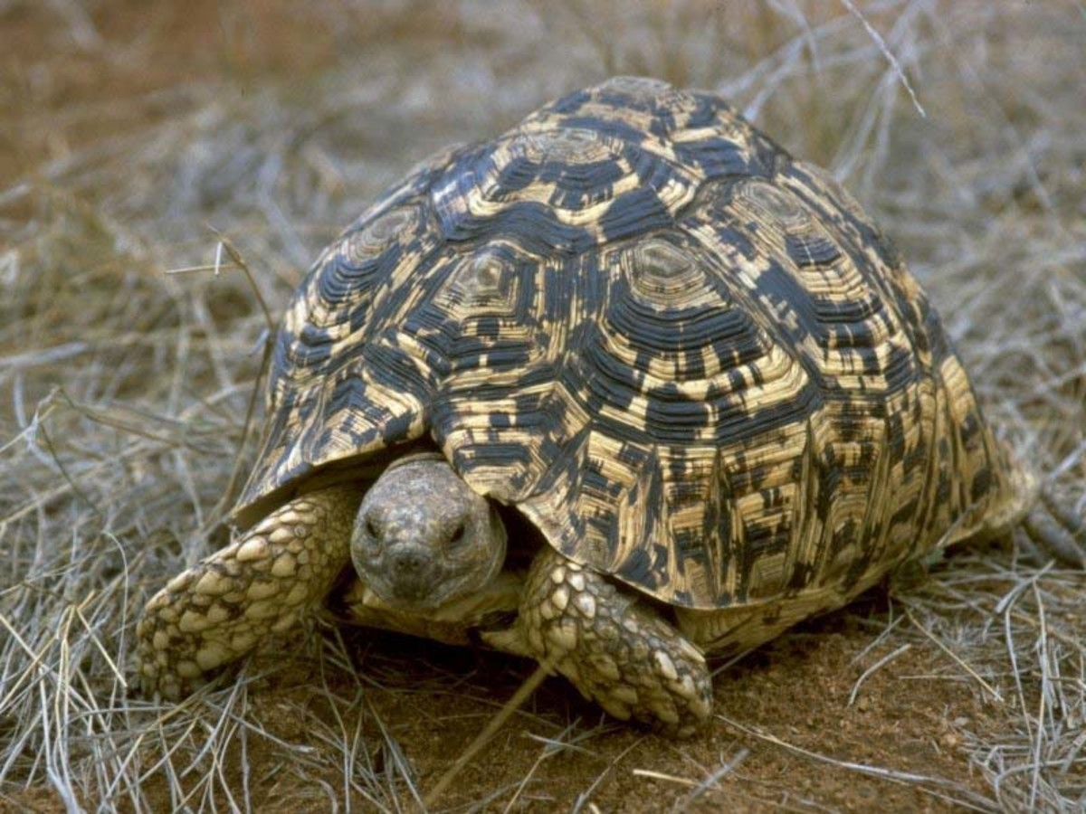 If your looking for a tortoise for a pet the Leopard Tortoise could be the perfect pet for you.