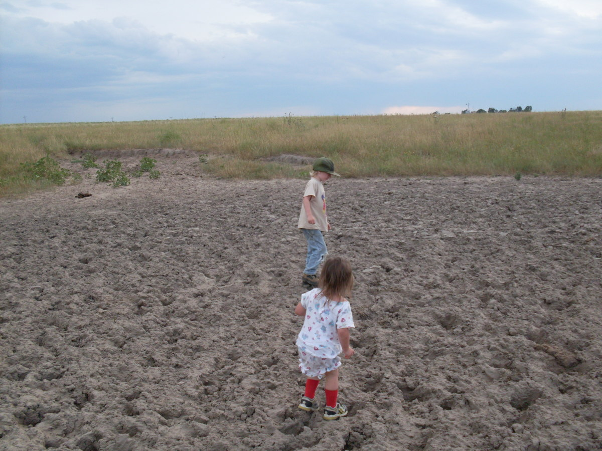 While it was wet, Dad's cows slopped through the wallow and enjoyed it, and now, my children take their turn.