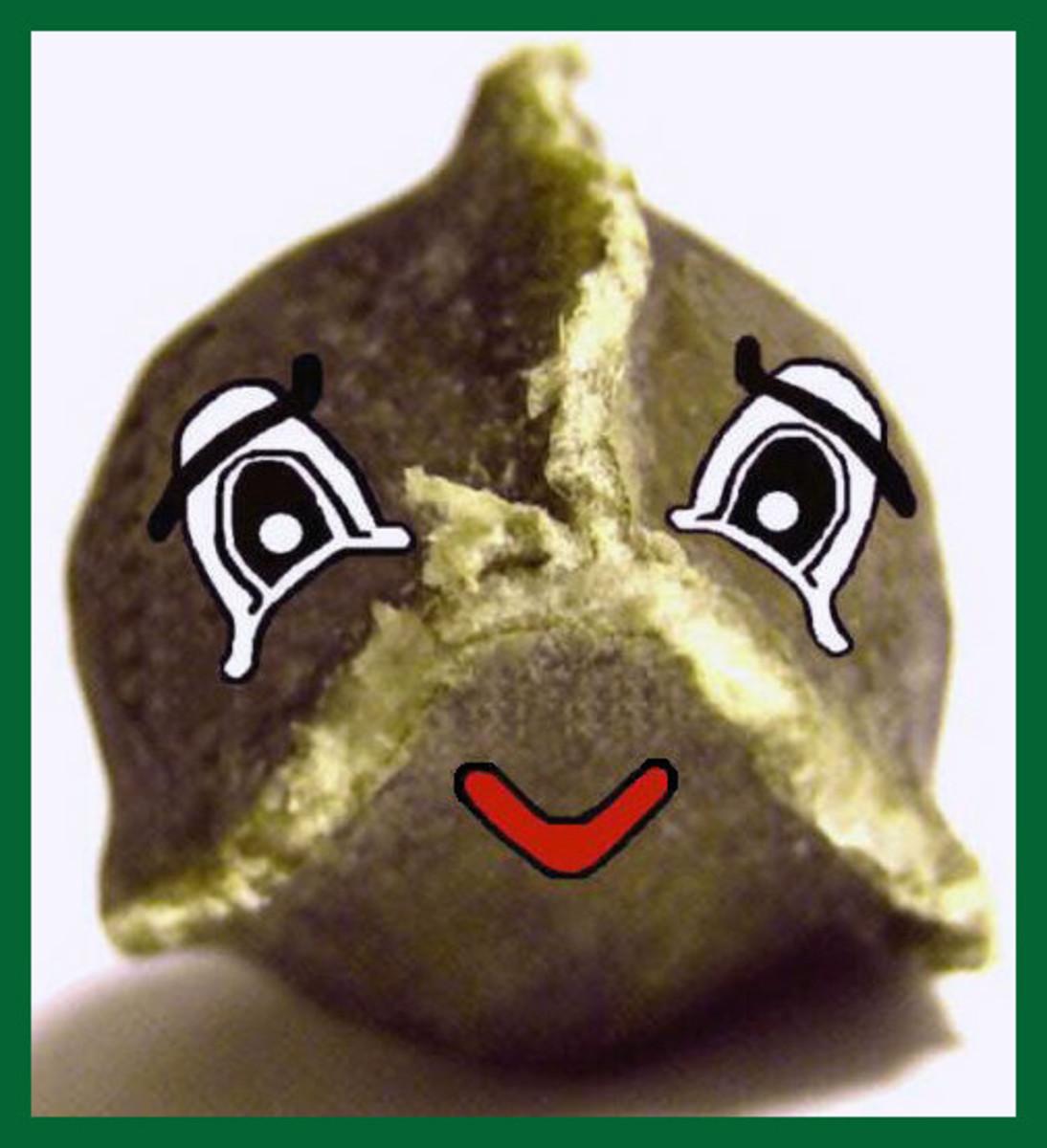 """""""Morey"""" our Moringa Oleifera seed"""