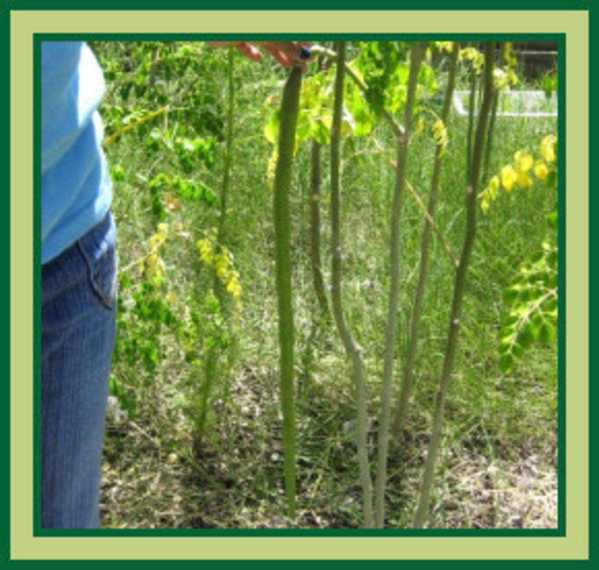 More of our Moringa drumsticks