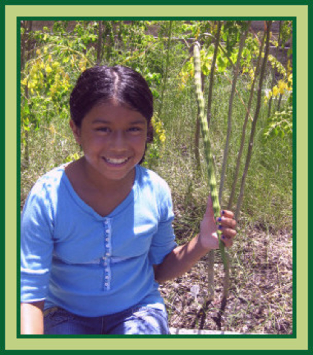 """Granddaughter holding immature drumstick from one of our Moringa Oleifera seeds. See how many seeds are in the pod? Every """"bump"""", is a seed."""