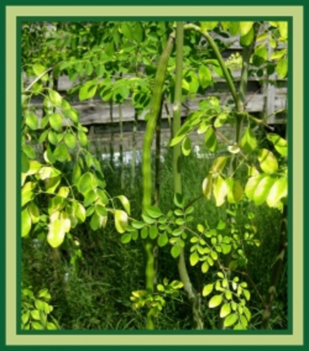 A few drumsticks on our Moringa trees