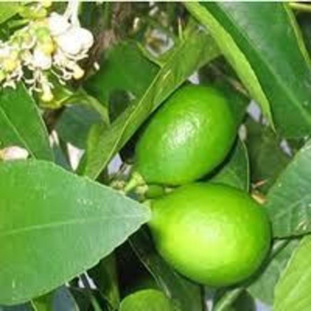 Indoor Lime Tree