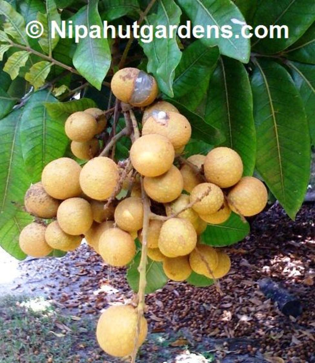 courtesy of www.nipahutgardens.com/prodimages/longan.jpg