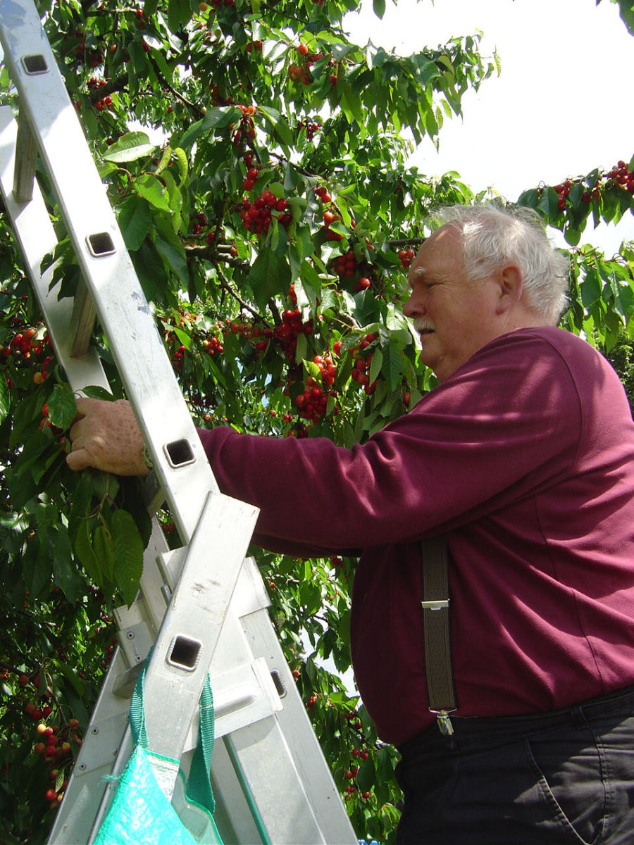 Cherry picking in Videix, Limousin, France