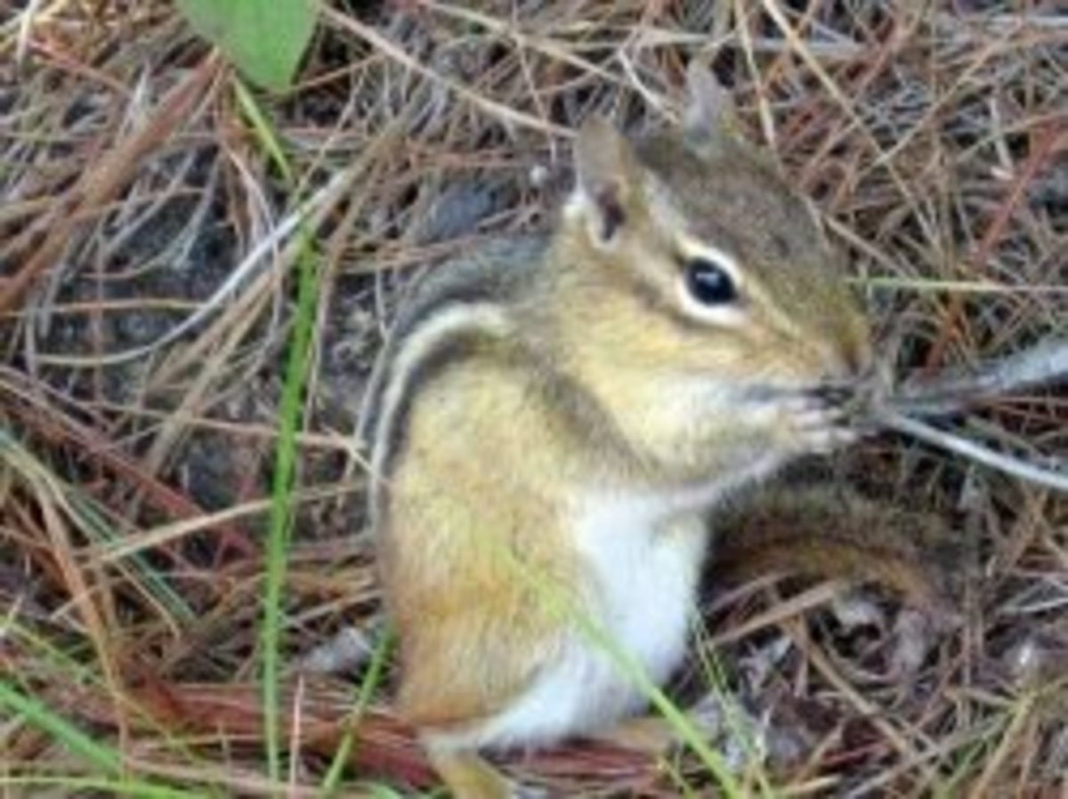 Ten Humane Ways to Get Rid of Chipmunks