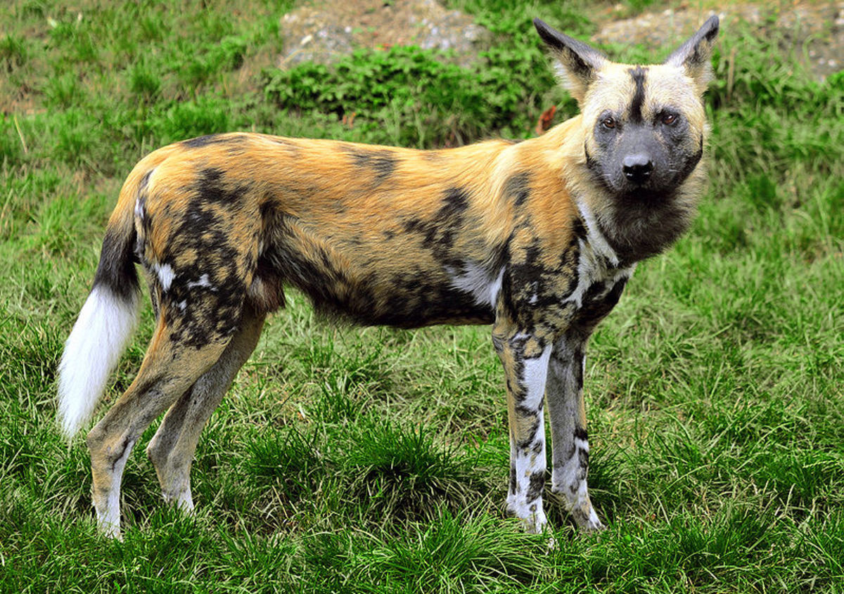 African Wild Dogs - World's Greatest Hunter of Animals - Image Credit: Wikipedia Commons