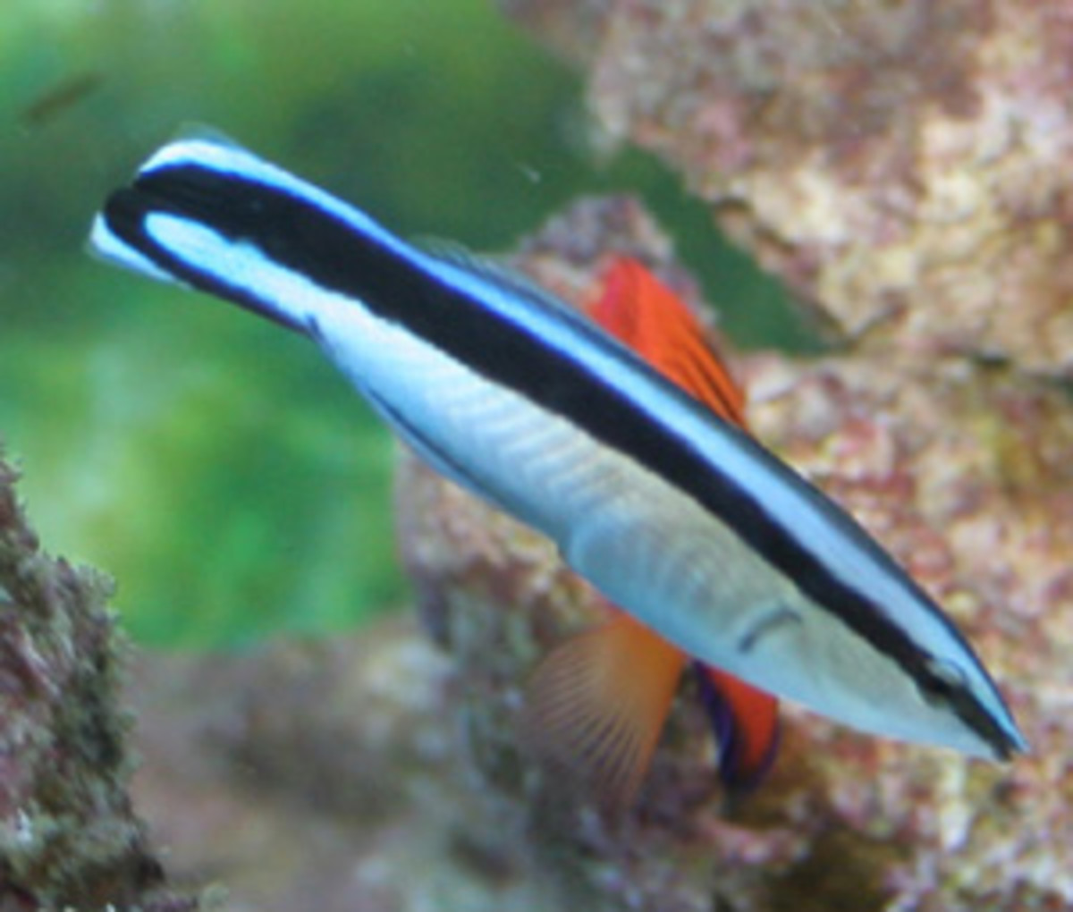 Cleaner Wrasse - Facts On The Cleaner Wrasse