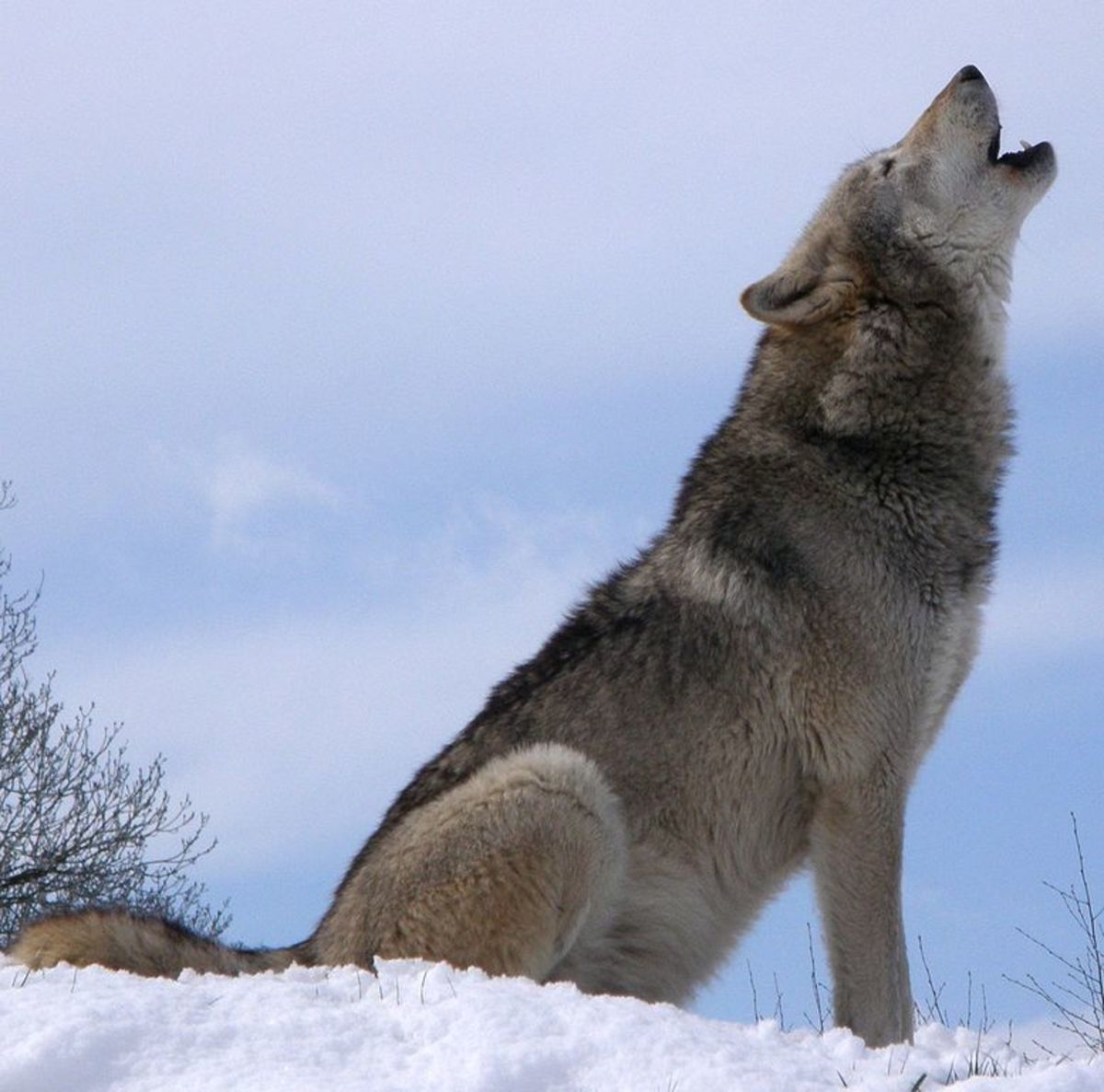 A wolf howling in the snow