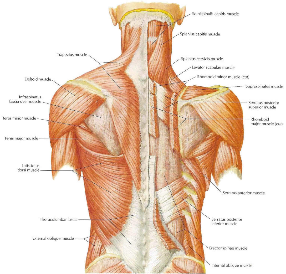 Back Nerves And Muscles Muscles of The Back