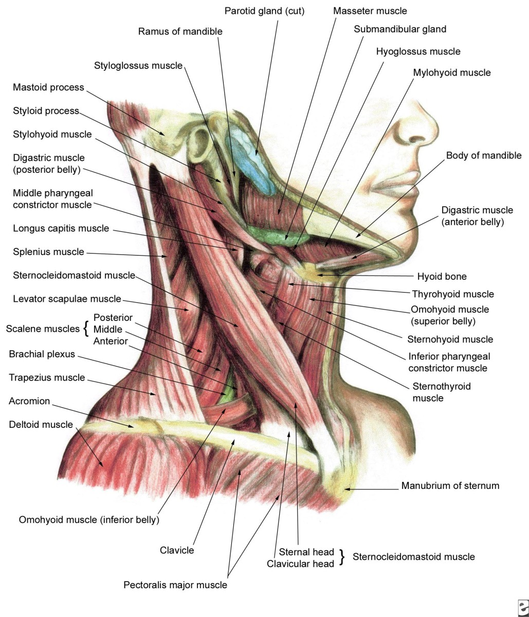 Shoulder Neck Muscles Muscles of The Neck