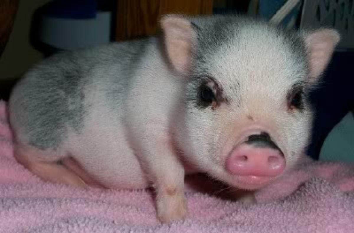 Pot Belly Piglet