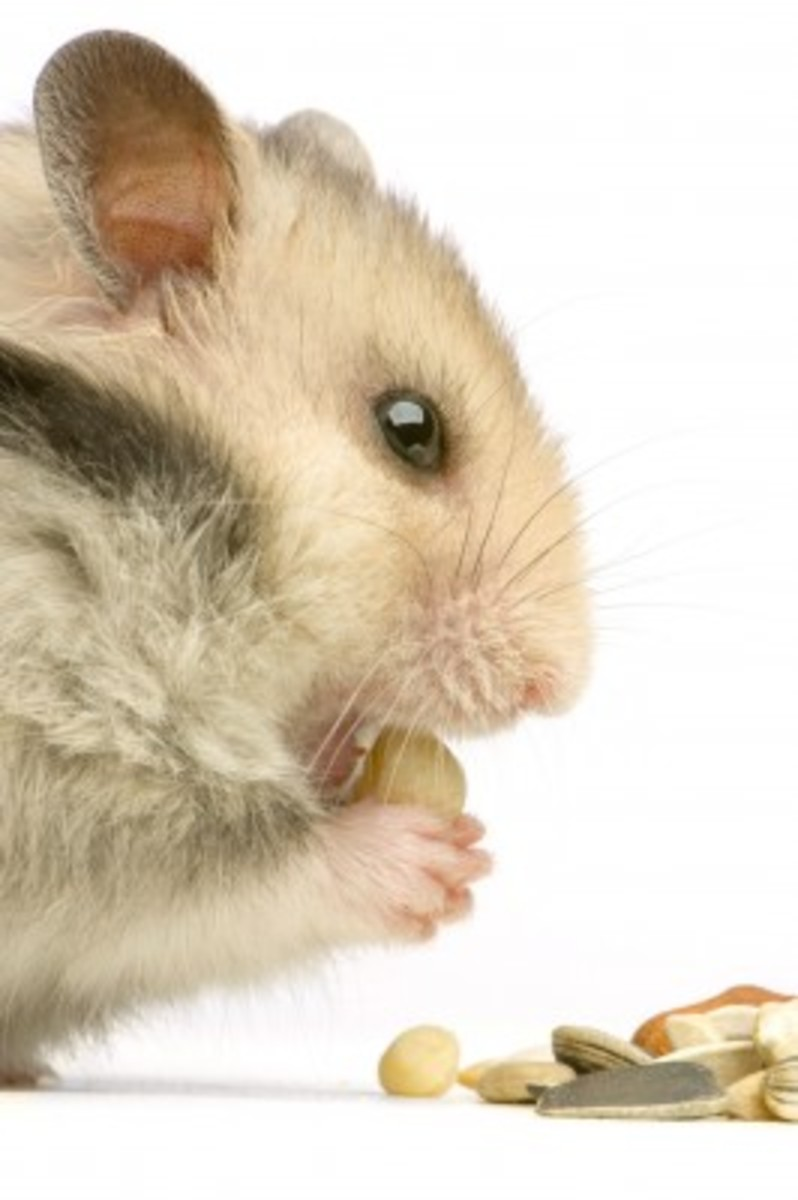 What You Should Know About Hamster Eating Habits