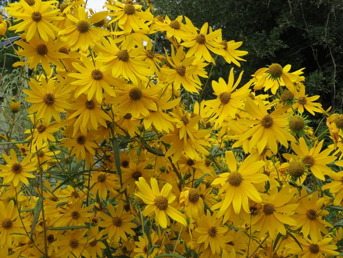 October Gold Blooming Native Sunflowers for Your Garden