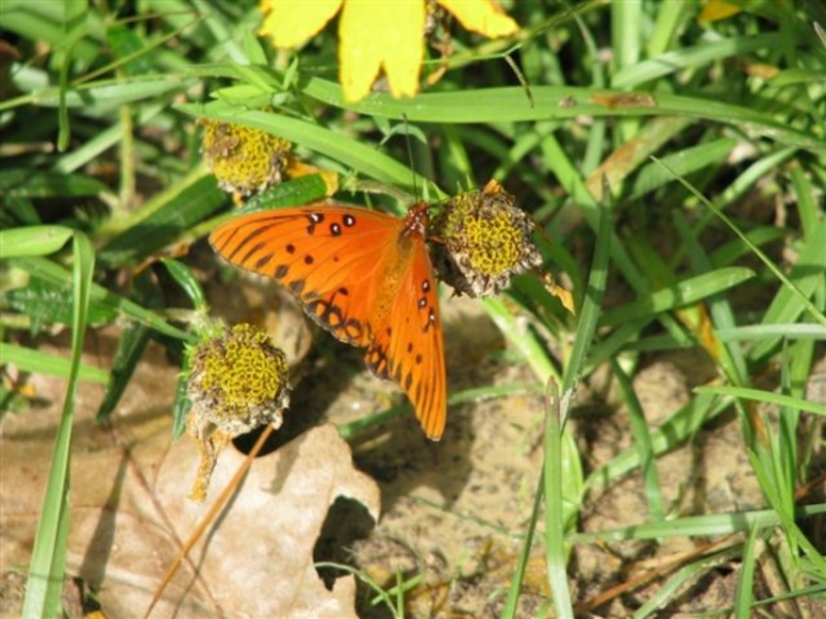 A Gulf Fritillary on Spent Swamp Sunflowers. In winter these pods provide food for small songbirds.
