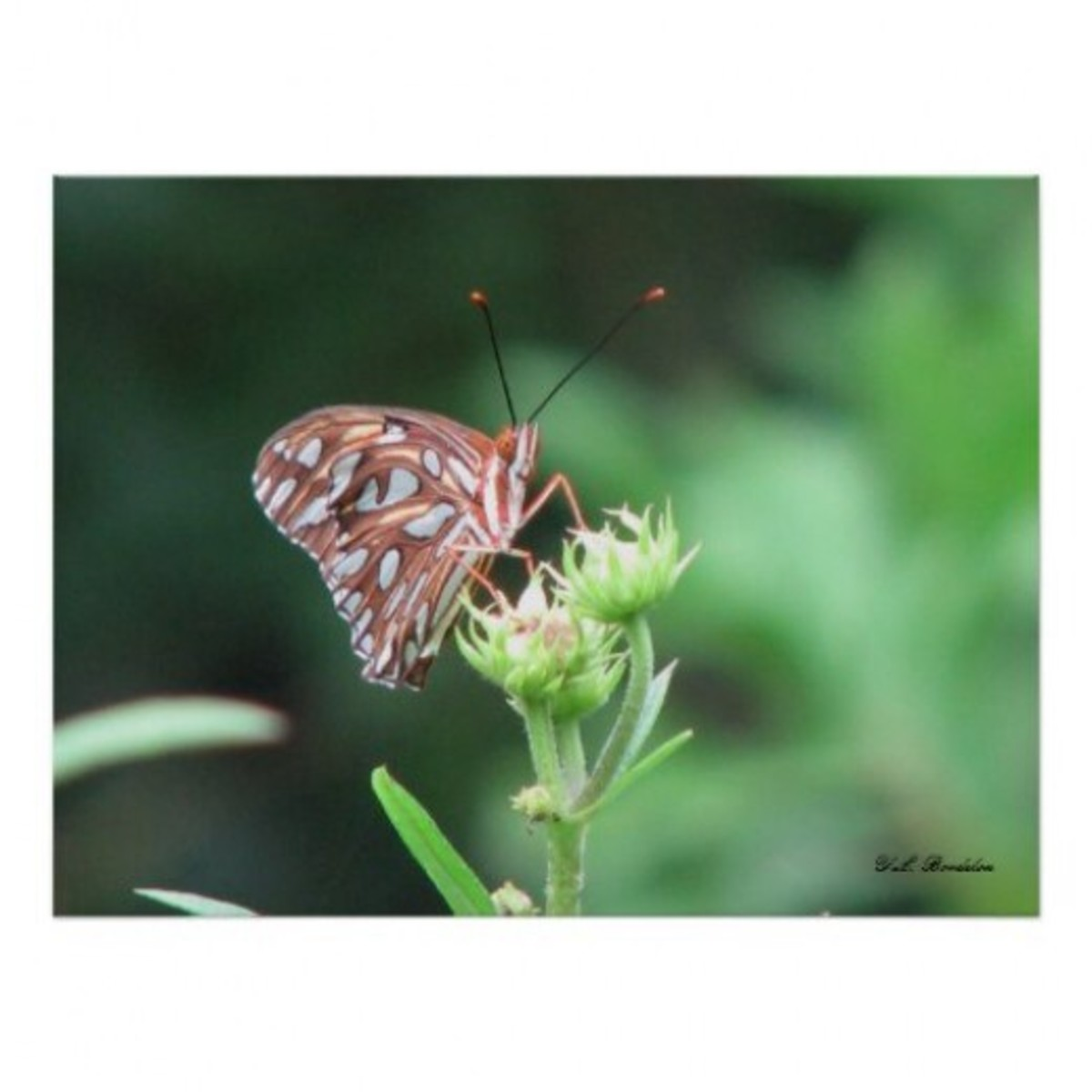 A Gulf Fritillary butterfly sits on a swamp sunflower bud.