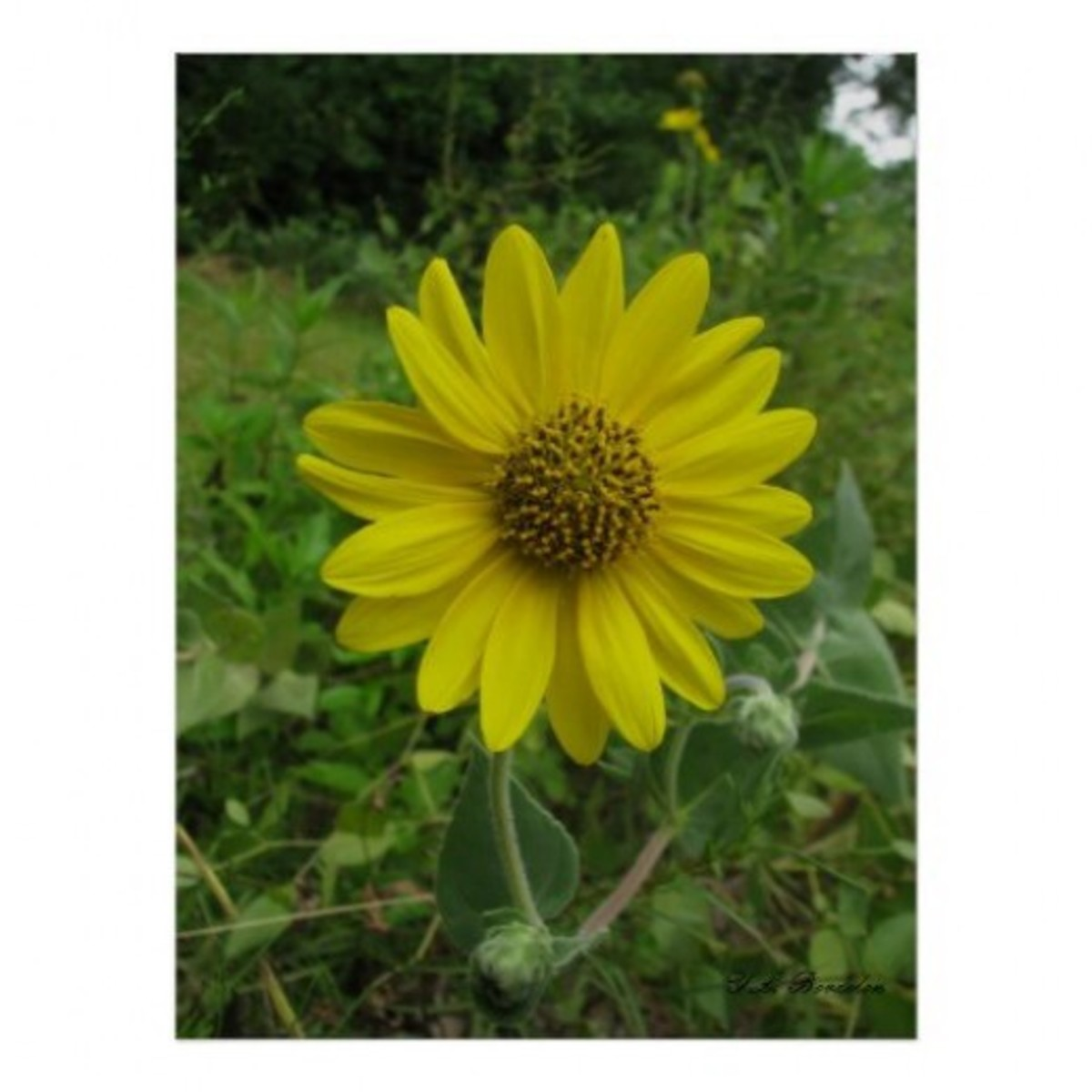 Ashy sunflower will grow in harsh conditions and blooms in late summer.