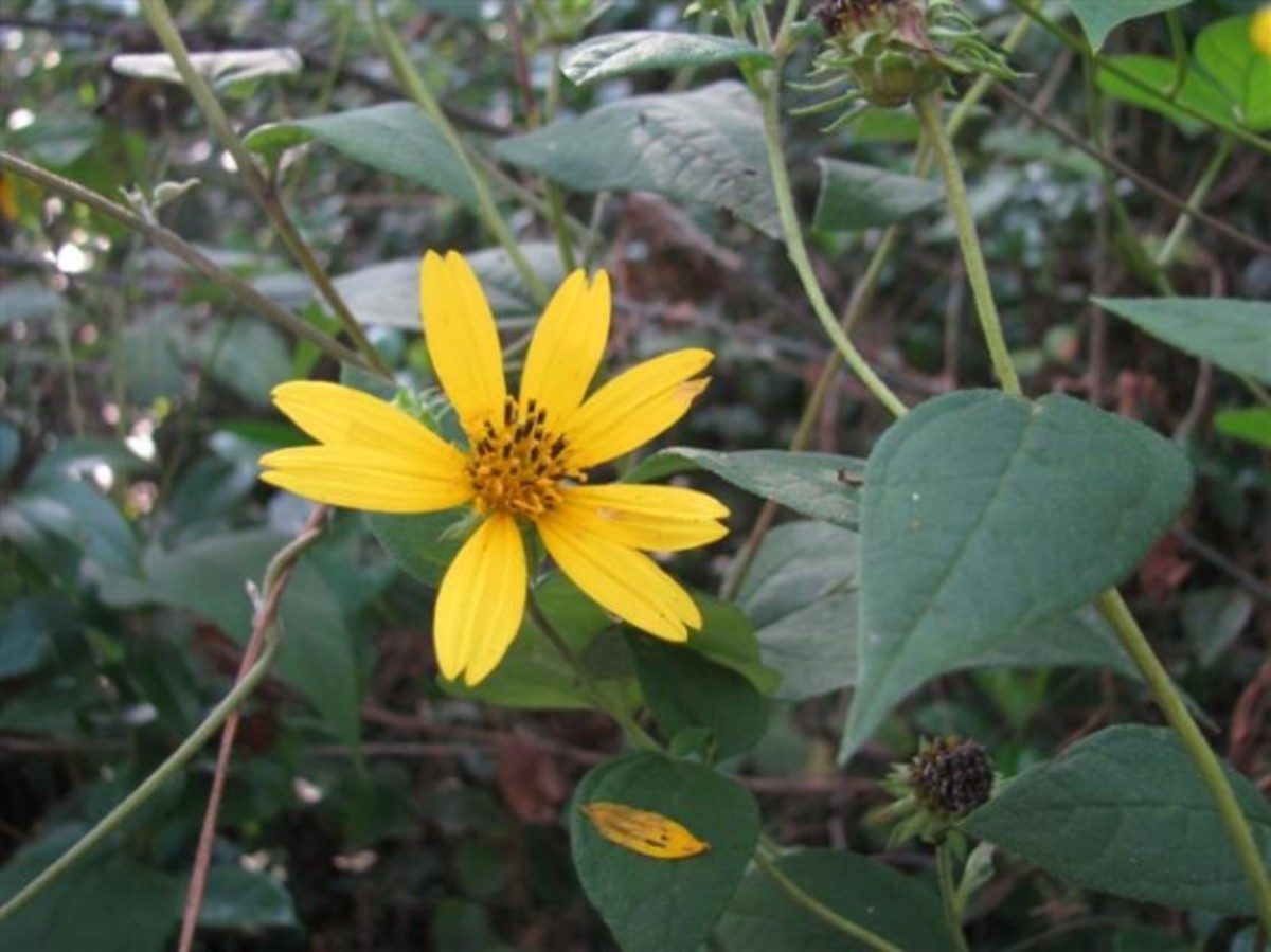 Woodland Native Sunflower by Y.L. Bordelon All rights reserved