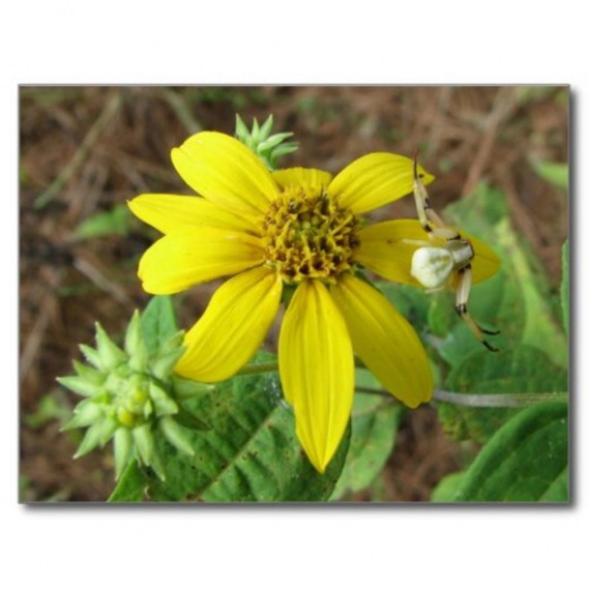 This type of crab spider lives on a stand of woodland sunflowers.